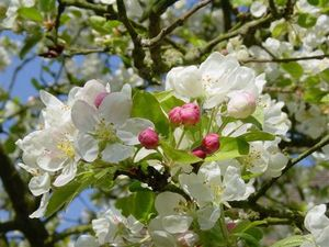 pommier_en_fleur