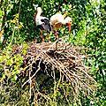 En lorraine :-) cigogne blanche, white stork, weiss storch, cicogna bianca