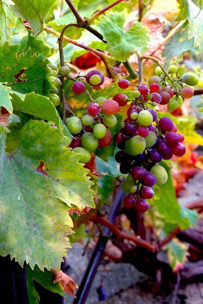 raisins d'automne (1)