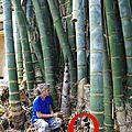35 - dendrocalamus giganteus - les espèces introduites en nouvelle-calédonie