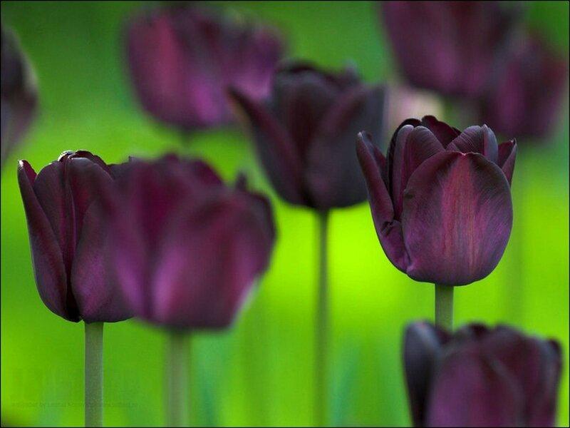 123761__the-black-tulip_p