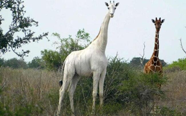 Girafe blanche femelle