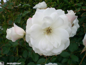 8883_Roses_blanches