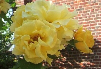 Rosa 'Goldilocks' cl-400