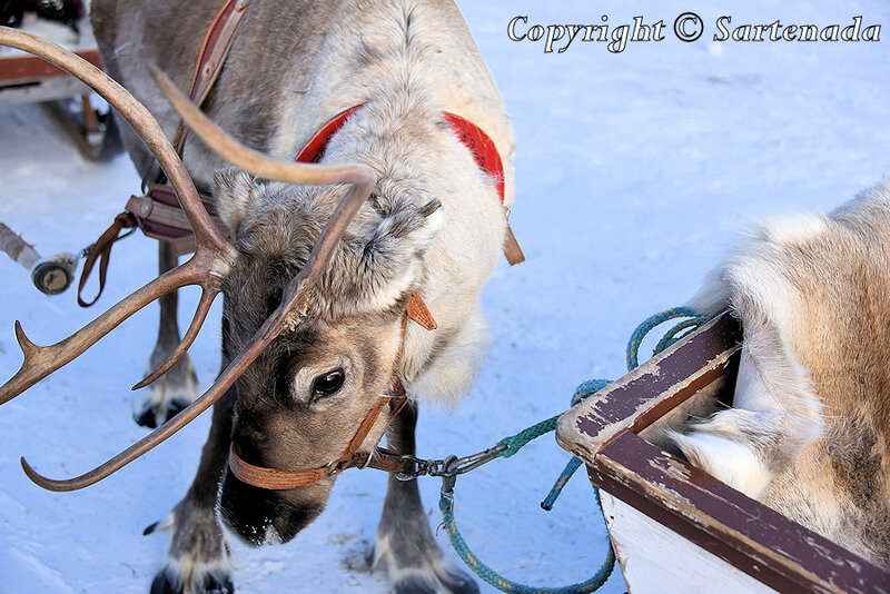 reindeer_rides_for_families_oulu_-2