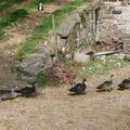 2008 09 18 Les canards a la queue le le