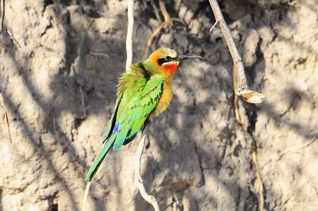 Gu_pier___gorge_rouge__delta_de_l_Okavango__Panhandle__Botswana__3_