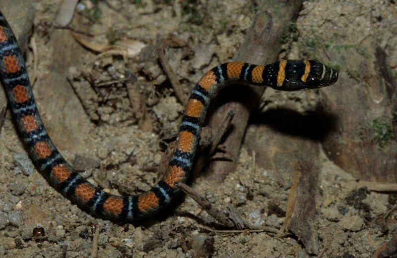 Chrysopelea pelias