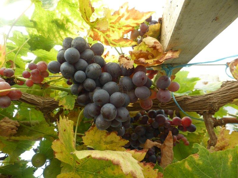 18-raisins (4)
