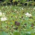 Champ de fleurs de lotus ... la fleur fanée est vraiment moche !