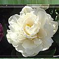 balanicole_2017_05_le printemps des tulipes_42_à fleur de pivoine