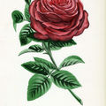 Livre ancien : Les Roses par Jamain et Forney