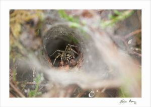 web_agelena labyrinthica_3