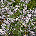 Aster amellus violet-queen