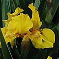 Iris germanica 'clara garland'