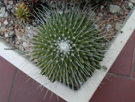 Mammillaria_spinosissima_unpico