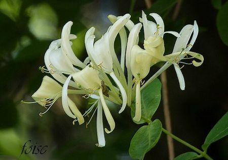 fleurs verticillées en tête terminale