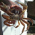 Abdomen du crabe femelle