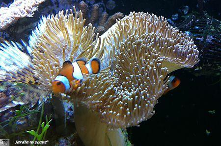 Corail mou Sarcophyton latum et Amphiprion ocellaris