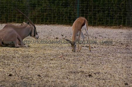 springbok_et_oryx