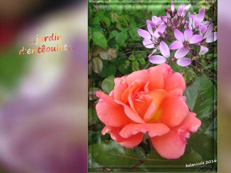 balanicole_2016_11_les nouveaux rosiers de balanicole_e comme jardin d'entêoulet_13