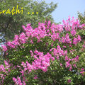 Jarul trees in full bloom (pink)
