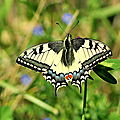 Papilio machaon machaon, grand porte-queue adulte