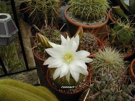 cactus_001