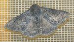 Ericeia albangula dodo 03