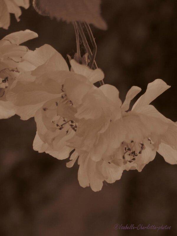cerisier sepia6