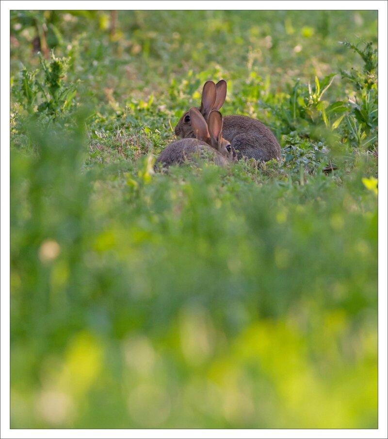 plaine vigne lapins 5 duo 140614