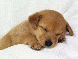 fond-ecran-chiot-dormant