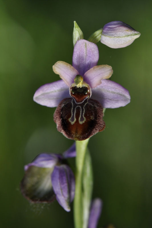 _DSC0709_Ophrys_aveyronensis