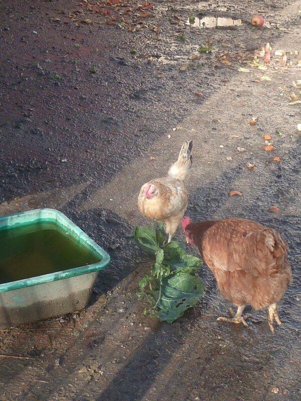 13-poules (6)