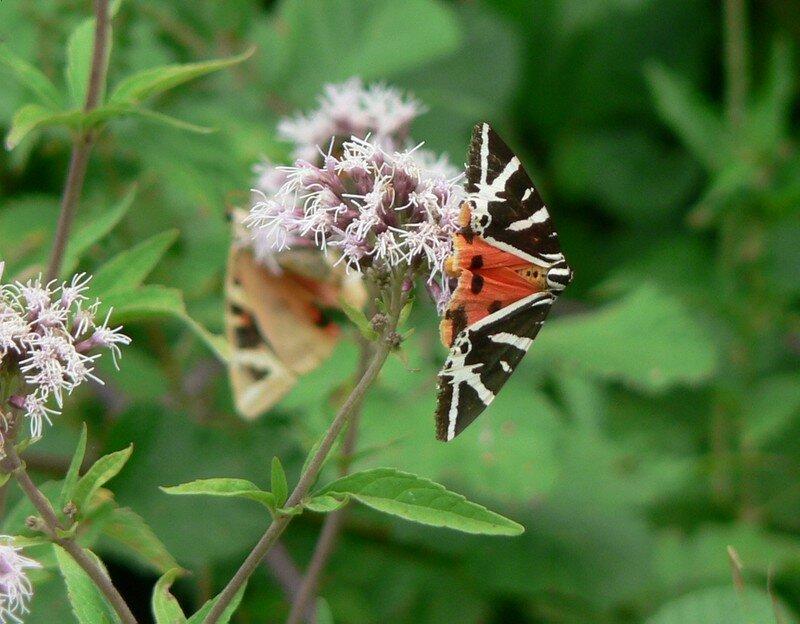 papillon (écaille chinée)