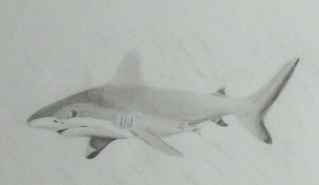 requin_pointesnoires