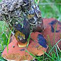 Boletus erythropus (4)