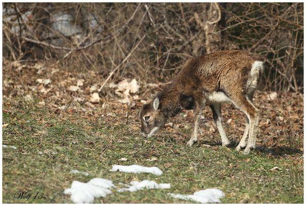 mouflon13-08