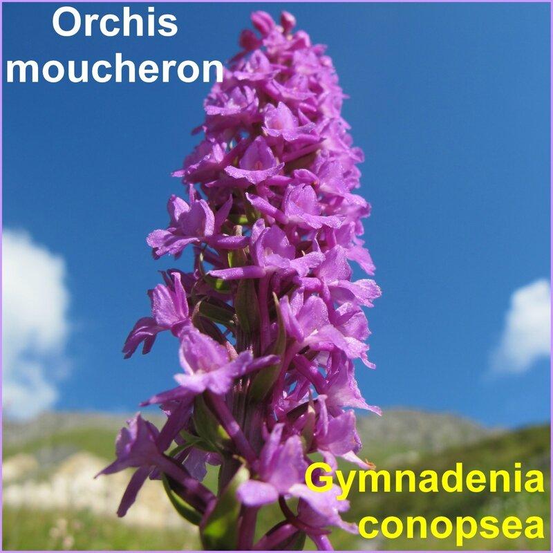 Orchis moucheron - i - comp