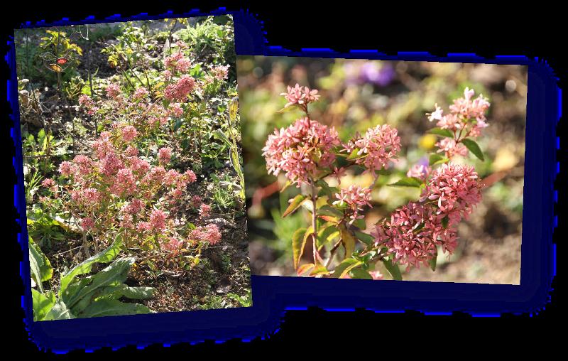 abelia sinensis en fleurs ou tout comme