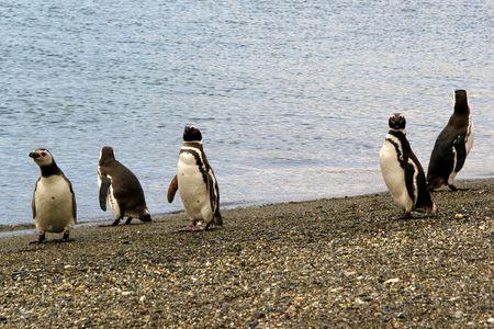 Pingouins_3