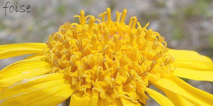 fleurs centrales tubuleuses