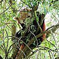 29 - Panda roux