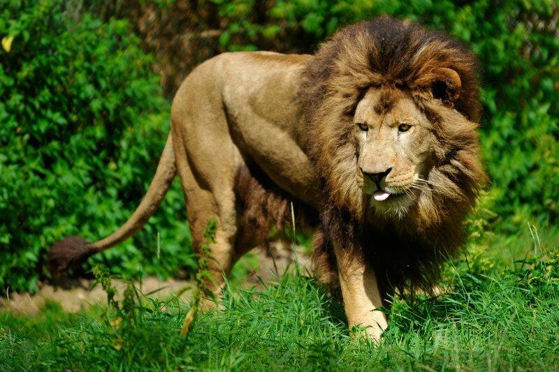 Lion d'Afrique © MNHN - François Grandin