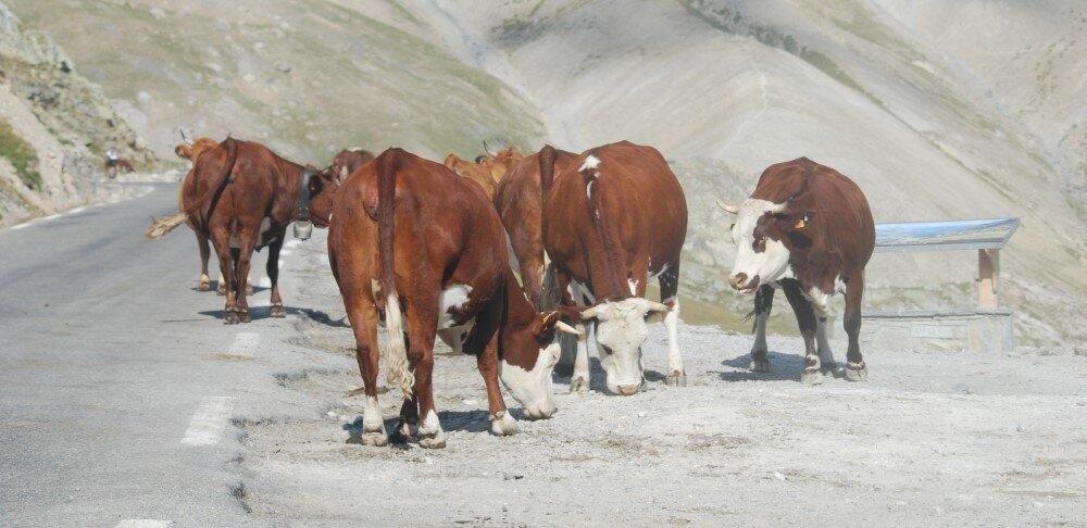 vache galibier55