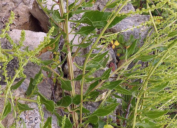 feuilles caulinaires ovales ou lancéolées aiguës
