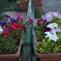 2009 06 12 Les pétunias en jardinières