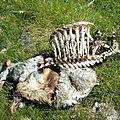P1070327 Carcasse d'un mouton