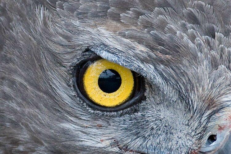 oeil-aigle