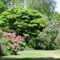 11 - Acer palmatum